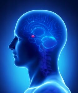 Human brain AMYGDALA - cross section